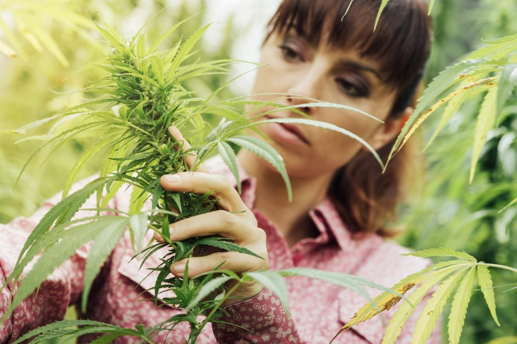 Woman trimming cannabis plant