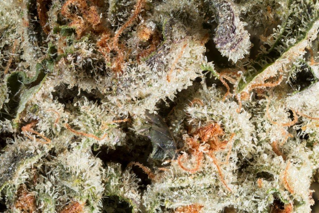 Close up picture of marijuana terpenes