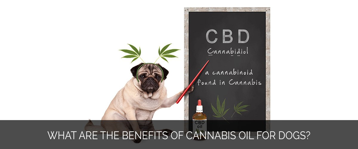 What are the benefits of cannabis oil for dogs - Marijuana Marketing Xperts